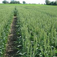 Bild av fält med vete
