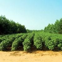 Agroforestry med pinjeträd och bomull