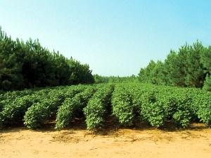 Agroforestry with pine and cotton