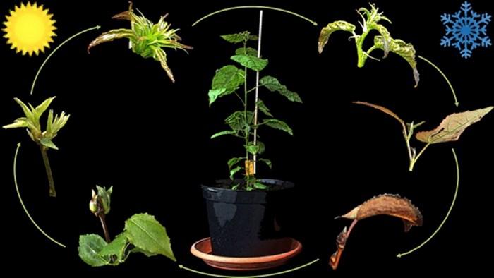 Illustration av de olika stadierna i unga aspträds årliga tillväxtcykel.