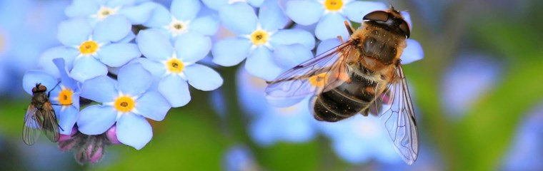 Insects pollinating forget me not flowers, photo.