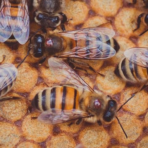 varroa-ingressbild.jpg