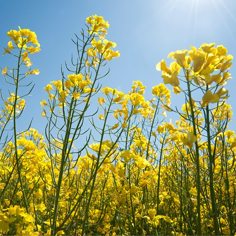 Field-of-oilseed-rape-canola_web_750x750.jpg